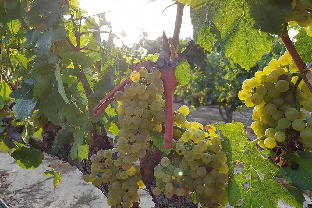 uva-alcanon