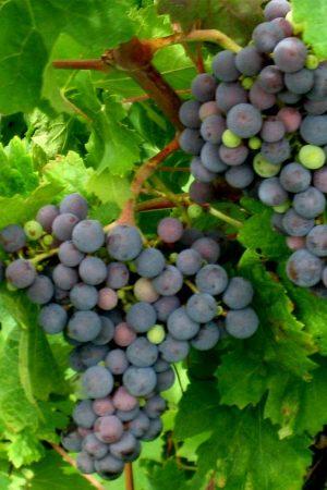 uva cariñena